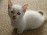 Himalayan cross kitten