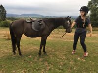 12.2hh mare for sale