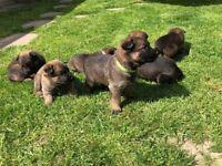 Puppies German Shepherd/belgian Shepherd Cross