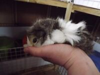 2 lovely looking 9 week old female guinea pigs for sale £35 the pair