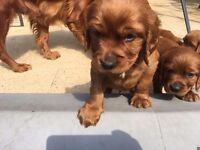 Stunning red setter pups for sale omagh