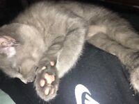 Blue male kitten