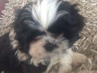 Beautiful Girl Shih Tzu Puppies (ready now)