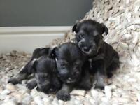 Beautiful KC registered Miniature schnauzer puppies