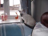 Siamese/oriental kittens For sale
