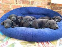 Beautiful black Labrador puppies price reflects pedigree
