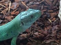 Pair of Eyed Lizards and 4ft vivariums for sale