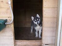 2 Males & 2 Female Siberian Husky Puppy's 4 Sale..