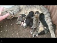 7 kittens for sale 4 tabby 3 black/white ready in 8 weeks. Ready ro be reserved now