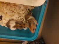 2 Syrian hamster litter for sale