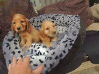 Cocker spaniel show type pedigree puppies Dark golden