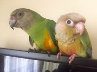 Super Hand reared Baby Senegal Talking Parrot Hatch Certificate