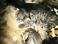 2 Half Bengal Kittens