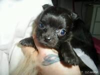 Tiny chihuahua girl