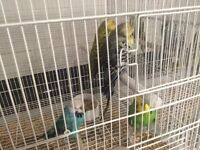 exhibition show budgies