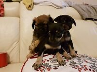 chugs puppies for sale £450