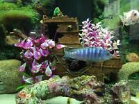 Malawi fish