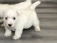 WEST HIGHLAND WHITE TERRIERS READY NOW