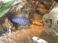 African cichlids 1