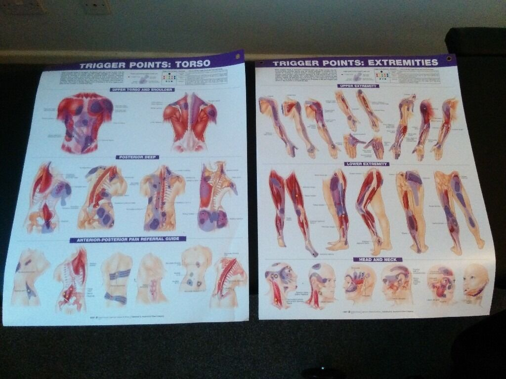 Laminated anatomy charts posters (skeletal muscular system, trigger ...