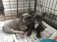 2female French bulldogs