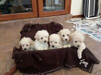 Beautiful Poochon Puppies - Suitable for allergy sufferers