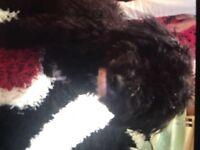 Cute Black Dog In Smethwick