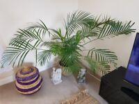 Paler Palm House Plant