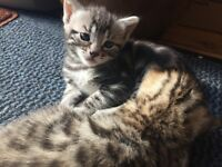 7 BENGAL KITTENS FOR SALE