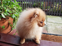Gorgeous pomeranian. Microchipped, immunised, vaccinated, vet health-checked.