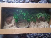 Corn Snake + Vivarium for Sale - £100