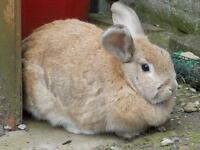 2 year old female rabbit