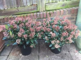Last 1 Left. Beautiful Skimmia Japonica Plants Fragranced, Hardy and Evergreen in xl pots