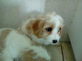 White and apricot cavapoo