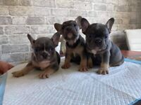 Lilac and tan french bulldogs