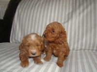 Cockapoo(toy) puppies, rare red F1b's
