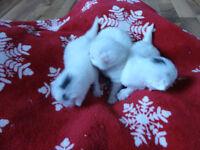 3 Female Beautiful kittens for sale in Boston