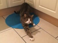 Missing Cat, Dundrod, Stoneyford Area