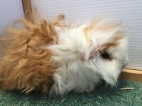 Pair of male Guinea Pigs for sale