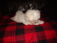 Beautiful Maltese Pup 1 boy.