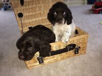 2 cocker spaniel puppies for sale