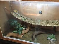 Adult Bearded Dragon and Large viv and Equipment.