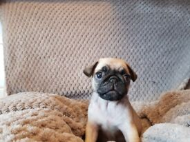 3 stunning pde clear pug puppies