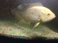 Free 1 Oscar tropical fish for fish tank very nice and very good look pic 6 inch