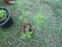 Plants for sale-A small pot of oregano plants