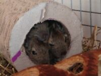 Three Degus (cage, toys and food) for Sale