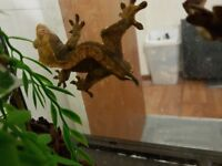 2 years old crested gecko, without viv