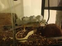 2 Leopard geckos and vivaria