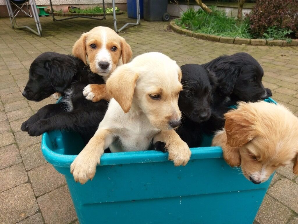 Black lab/Irish setter cross puppies for sale