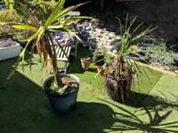 Palm tree & various pots